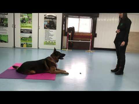Novice Tricks Dog Chief   DMWYD