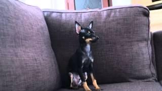 Русский той терьер черно-подралого окраса/Russian toy terrier black-tanned
