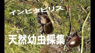 インビタビリス 原生林天然幼虫採集(スマトラ・北スマトラ州)