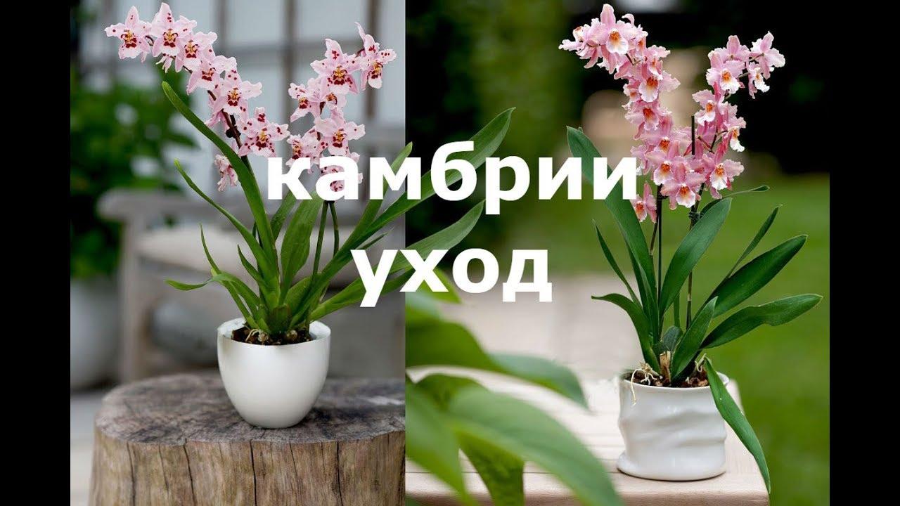 Уход и выращивание камбрий. Несколько гпростых советов по ...