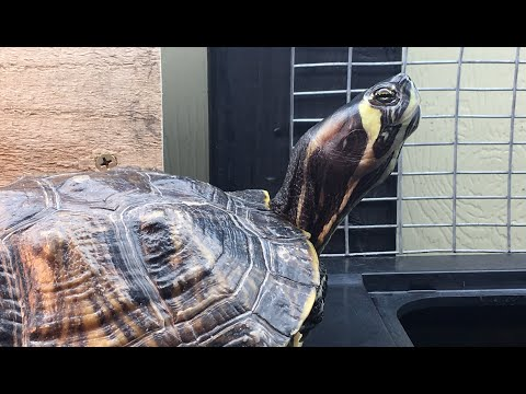 What To Feed Yellow Bellied Sliders