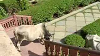 Cow walks down the stairs