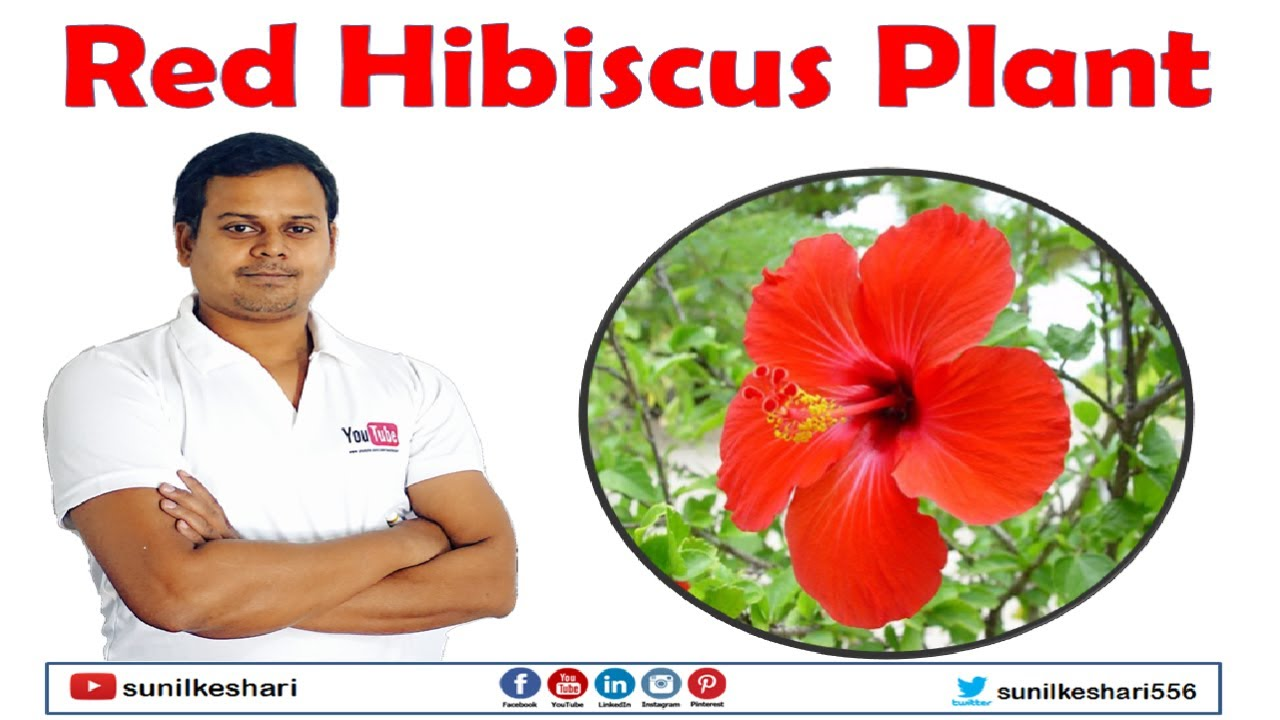 Red Gurhal Plant Or Hibiscus Youtube