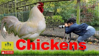 Fun videos for kids || Colorful chickens || baby hen colours  || Birds || Animals ||