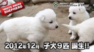 http://www.m-dogs.com/ ホワイトスイスシェパード・ラブラドール犬舎 M...