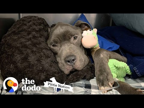 Skinny Pittie Who Couldn't Walk Now Loves Running on the Beach | The Dodo Pittie Nation