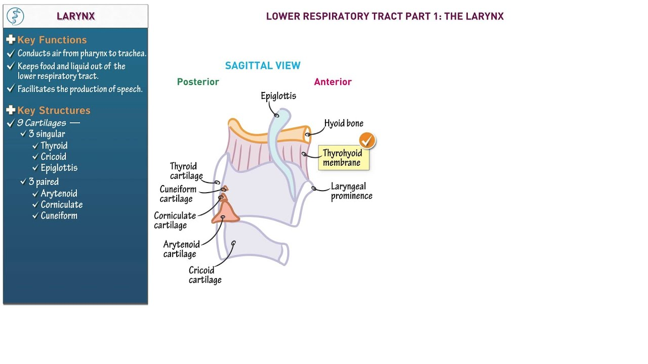 Anatomy and Physiology: Larynx - YouTube
