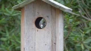 Northern Flicker In Birdhouse