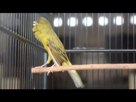 Download Lagu Suara Burung Kenari Ngerol Tanpa Putus