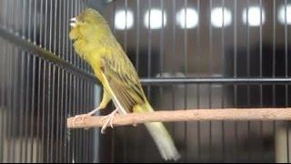 Suara Burung Kenari Ngerol Tanpa Putus