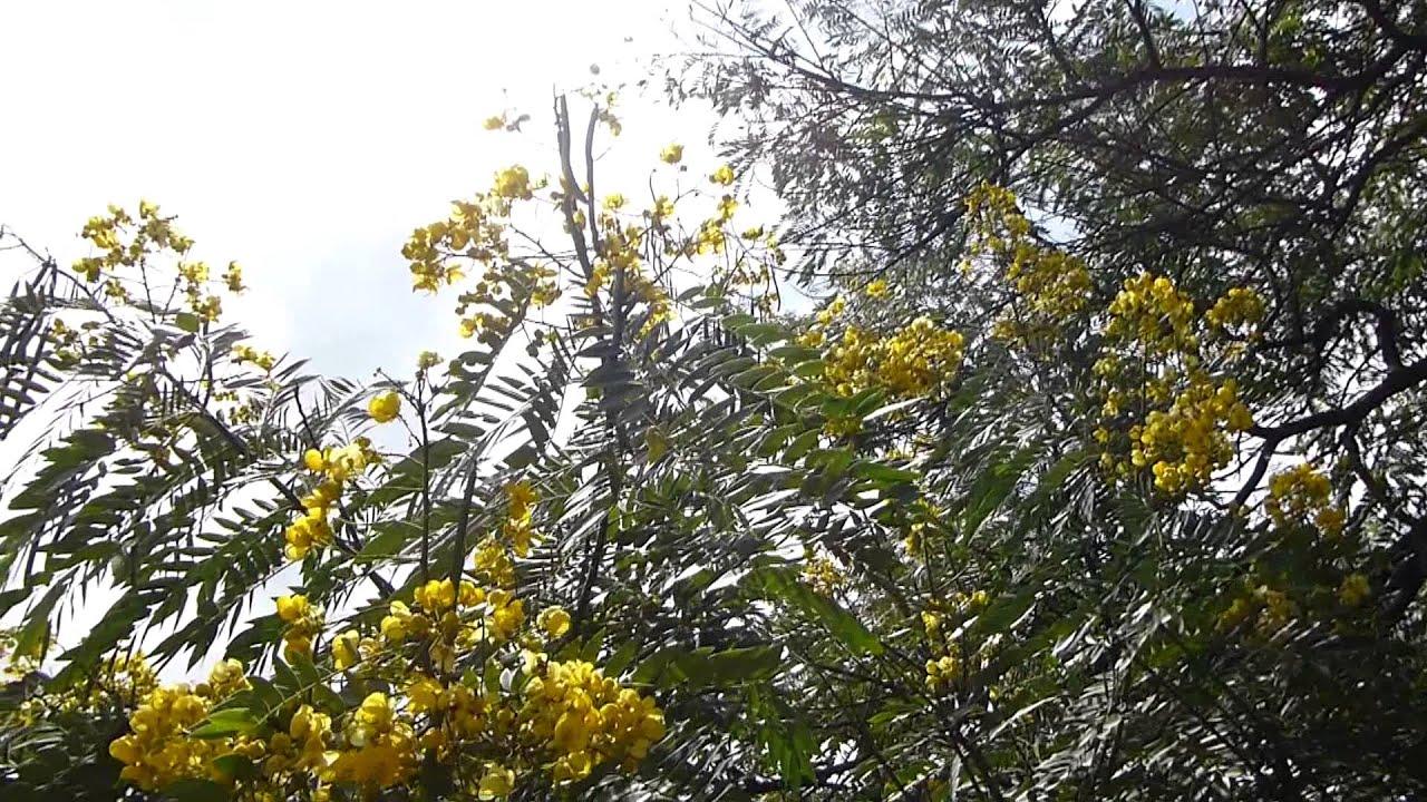 5746 las flores amarillas de un rbol raw flores for Arboles con flores para jardin