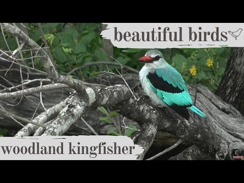Beautiful Birds - Woodland Kingfisher Call And Mating Display