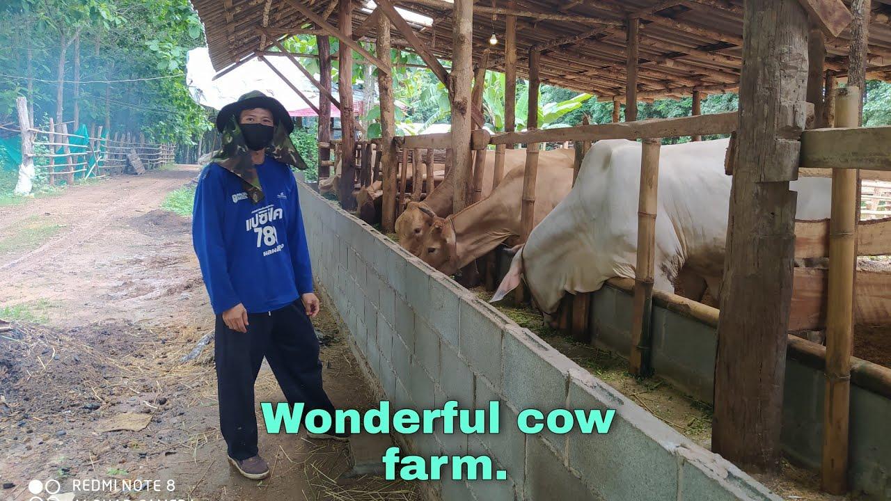 แรกๆใครก็ว่าไม่รอด(เว้าพื้น)    ก็เรียนด้วยเลี้ยงวัวไปด้วย  แต่..   (062-2606609 ต้า)