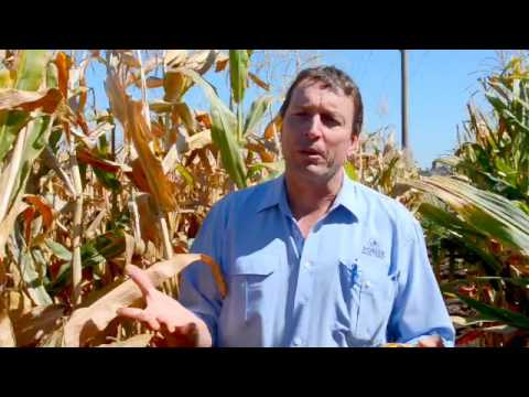 Corn research techniques  - corn silage harvest