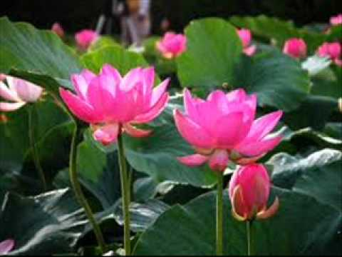 Wilthere piyum pipi...(විල්තෙරේ පියුම් පිපී)Somathilaka Jayamaha
