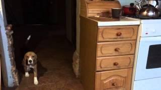 Бигль Бри собака-воровака собака породы Бигль beagle Brie - pilferer