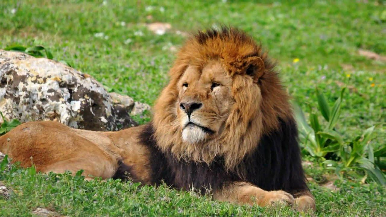 Zoosafari fasano leoni full hd youtube for Immagini leone hd