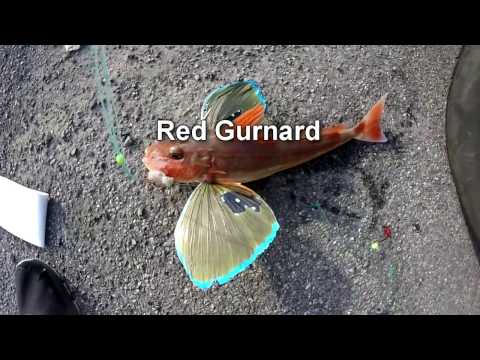 Red Gurnard Fishing New Zealand