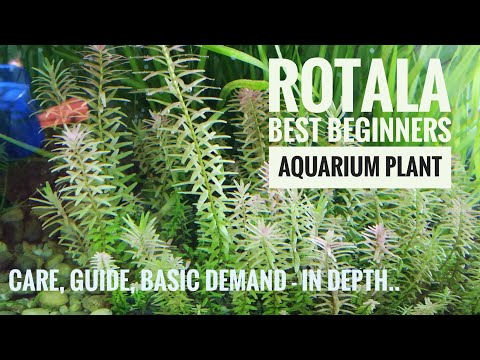 Rotala Plant.. (Rotala rotundifolia)Tank views..care... Information and Guide..