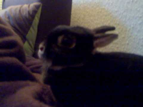 luna the crazy growling attack killer rabbit ! veruckt hase!