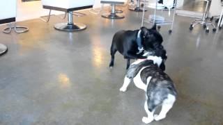 フレブルブルドックのポシュの子犬達も1歳になり元気です!