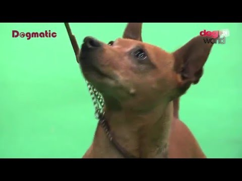 Birmingham National Dog Show 2016 - Toy Veteran group