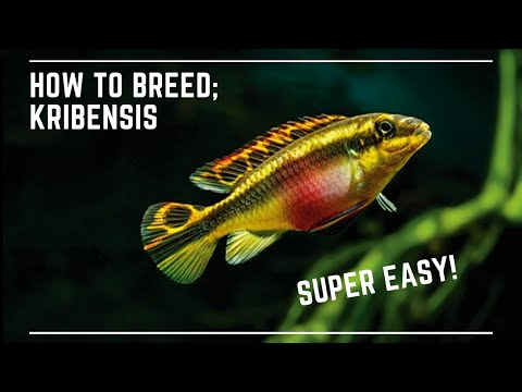 *Super Easy* How To Breed Kribensis - Great Beginner Fish