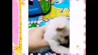 Sold Maltese X Japanese Spitz Puppies For Sale