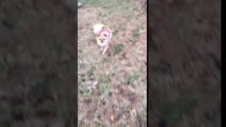 甲斐犬の呼び戻し訓練その3。先輩犬がお手本を見せてもらいましょう、あ...