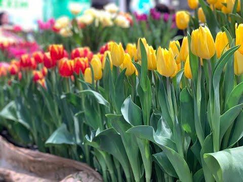 Выгонка тюльпанов. Полный Обзор. Выставка в Нидерландах 2020. Лучшие сорта от лучших производителей
