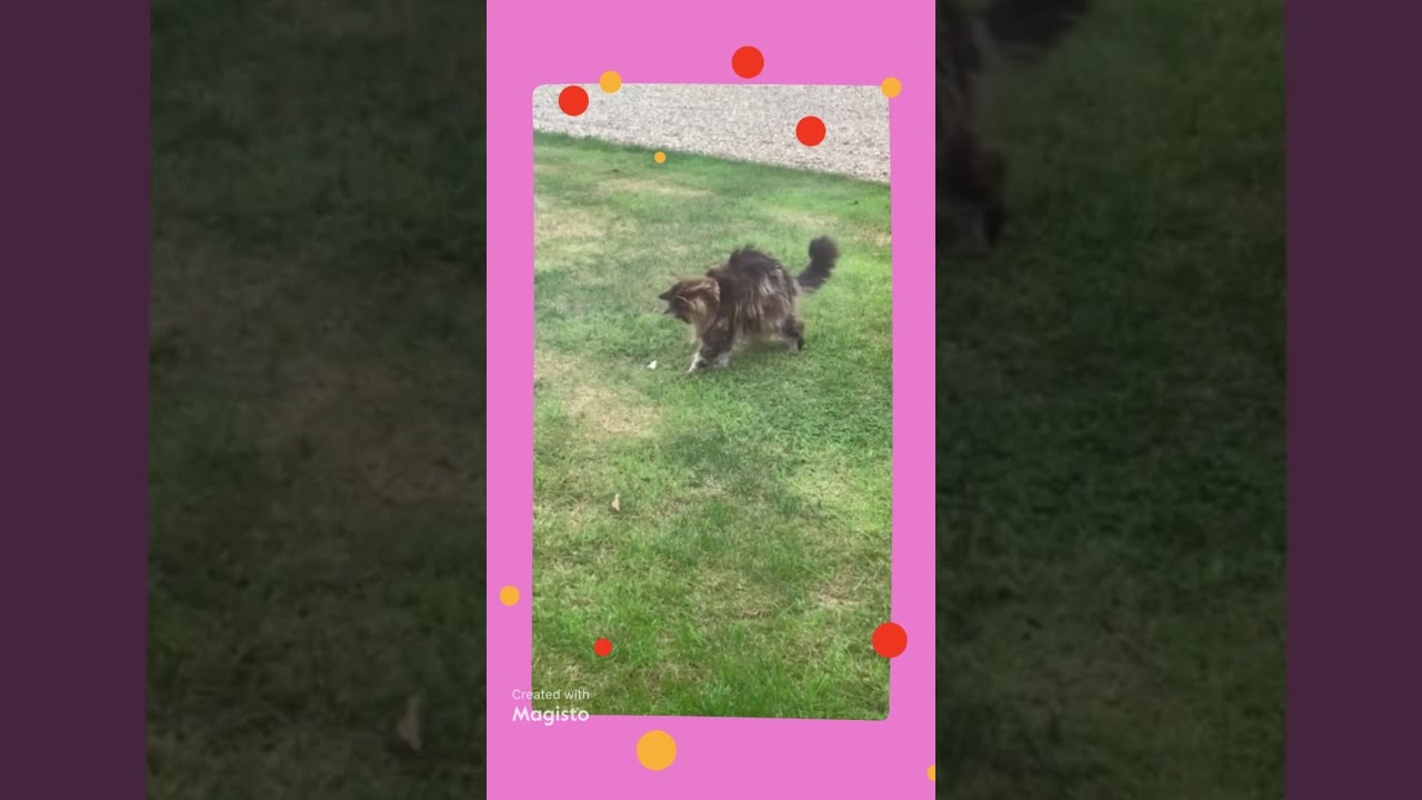 Maine Coon Playing With Bread