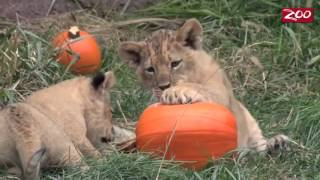 Маленьким львятам подложили тыкву