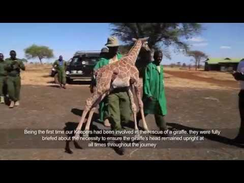 Thumbnail: Baby giraffe is rescued