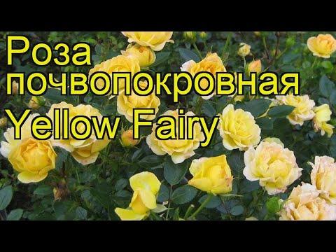 Роза почвопокровная Yellow Fairy. Краткий обзор, описание характеристик, где купить саженцы
