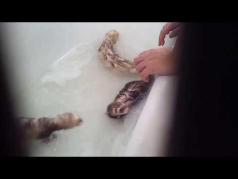 Ferret Baths!