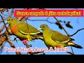 Suara Pikat Burung Punai Suara Burung Walik Ampuh Untuk Pemikat  Mp3 - Mp4 Download