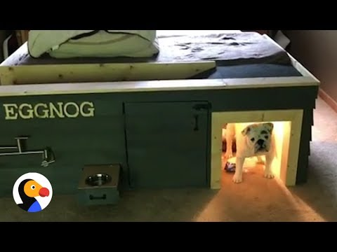 Bulldog gets the best dog house under parents39 bed the for Bed frame with dog kennel