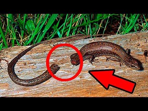 Почему у ящерицы конечность может отрасти, а у человека нет
