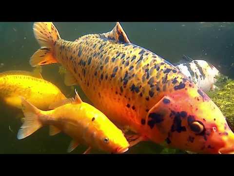Koi Fish Screensaver Underwater Sea 1080p 60FPS 66min
