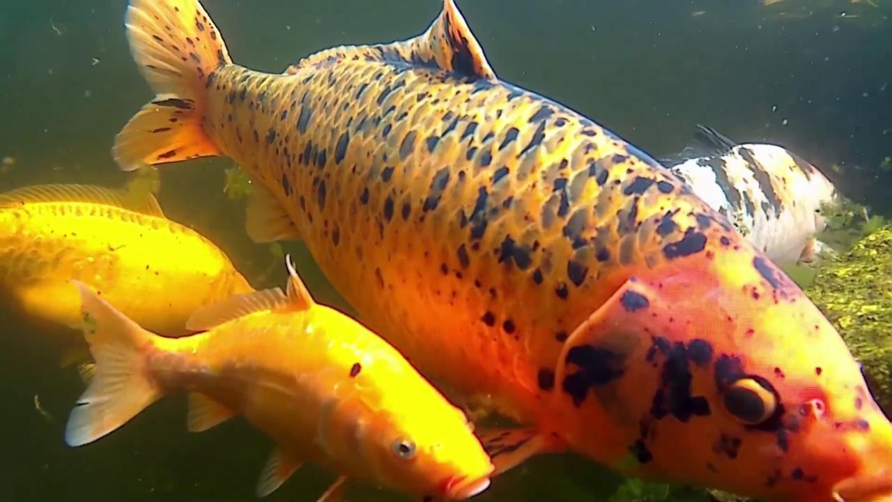 Koi fish screensaver underwater sea 1080p 60fps 66min for Koi pond screensaver