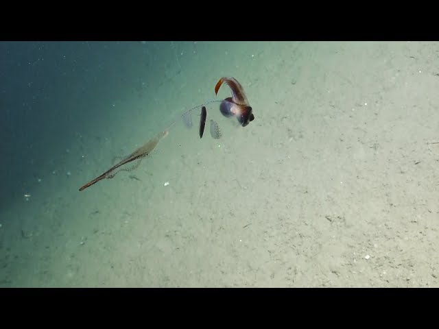 Translucent Cockatoo Squid Flutters By   Nautilus Live