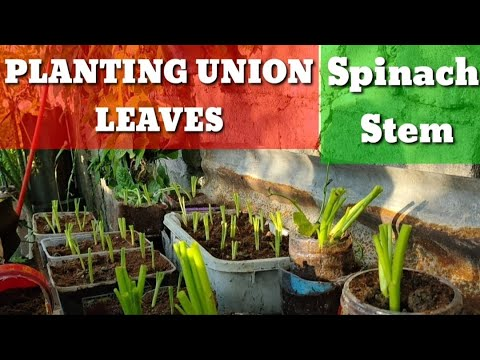 HOW TO GROW UNION LEAVES
