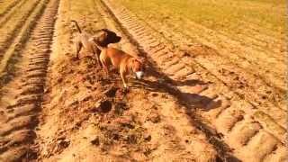 Zuza, Paco (staffordshire Bull Terrier) I Bruno (yorkshire Terrier)