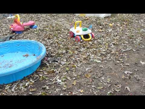 """IndigoMoon Aussies; The """"Star Collections"""" litter. First time outside in Playland!"""