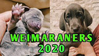 Best Of Best Our 2020 Weimaraner Puppies Compilation  ❤
