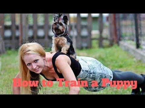 How To Train a Puppy|How to Train a Puppy to Sit|How to Train a Puppy to Attack on Command