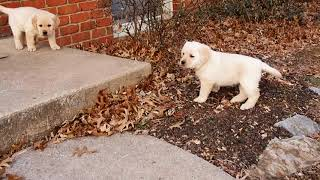 Sunberry Labs, 6 week old puppies