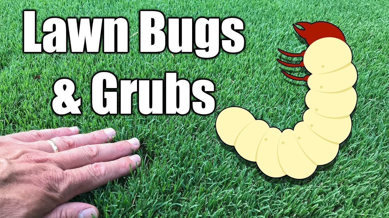 How To Kill Grubs In Lawn Youtube