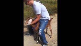 Goat riding in the mountains