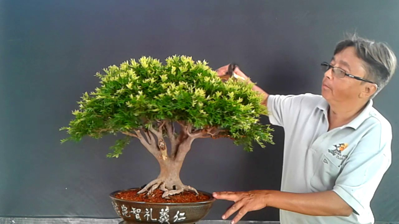 Meu Bonsai De Cambui Naturalista Nao Tem Forma De Bola